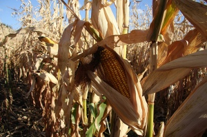 Dry weather nationwide is causing significant crop damage (Creative Commons)