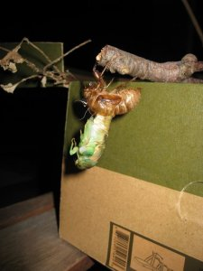 2011 photo of cicada emerging from its exoskeleton in Barrington.